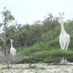 【画像あり】 ケニアで白いキリンが見つかるwwwwwwwwwwwwwwwwwwww神々しいwwwwwwwwwwwww